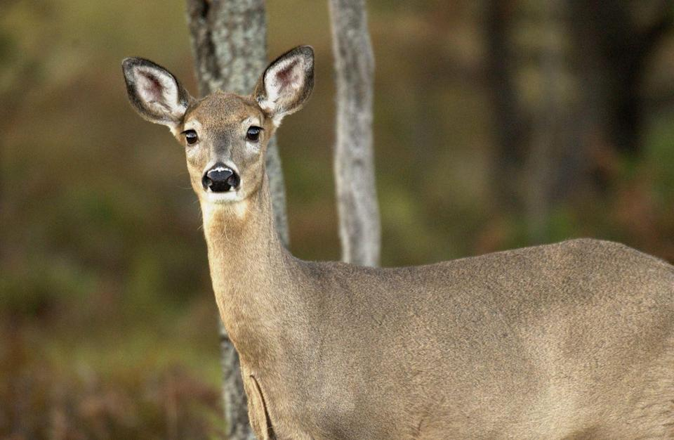 COVID-19 in animals: All about the first infection in deer