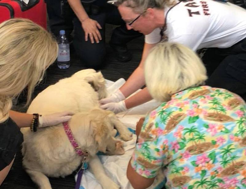 Service dog unexpectedly gives birth at Florida airport