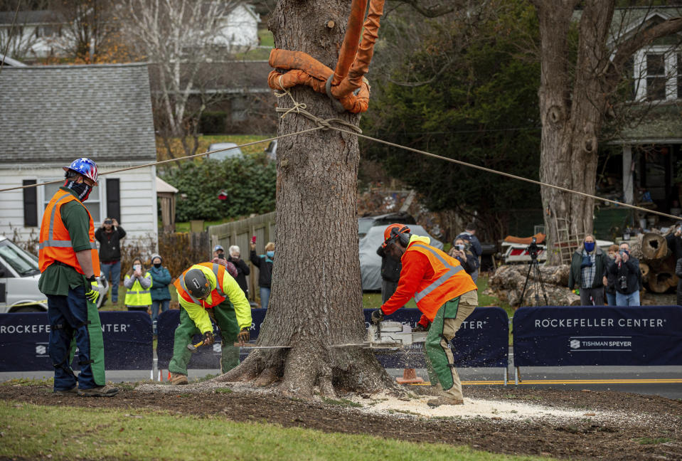Workers cut down a 75-foot tall, 11-ton Norway Spruce that will serve as this year's Rockefeller Center Christmas tree, Thursday, Nov. 12, 2020, in Oneonta, N.Y. The tree will be brought into New York City by flatbed truck and erected at Rockefeller Center on Saturday, Nov. 14. (Diane Bondareff/AP Images for Tishman Speyer)