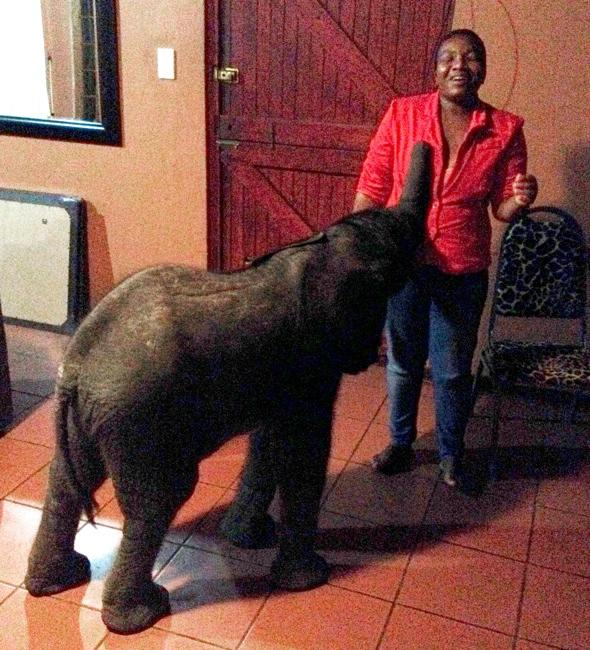 ***EXCLUSIVE***  ZULULAND, SOUTH AFRICA - MARCH 25: Tom the baby elephant with chef Tom Diamini, who originally found her in the garden, on March 25, 2014 in Zululand, South Africa.  A HOMEOWNER had no problem talking about the elephant in the room ? as one had wandered into her LOUNGE. Francoise Maldy Anthony was minding her own business when the 10-day-old baby stumbled into her garden. The remarkable young female had travelled around 30 miles after being separated from her herd in Zululand, South Africa. She then made her way across tough terrain into Francoise?s front room where she was fed - before she took a nap - while rangers tried to locate her mother.  PHOTOGRAPH BY Barcroft Media  UK Office, London. T +44 845 370 2233 W www.barcroftmedia.com  USA Office, New York City. T +1 212 796 2458 W www.barcroftusa.com  Indian Office, Delhi. T +91 11 4053 2429 W www.barcroftindia.com