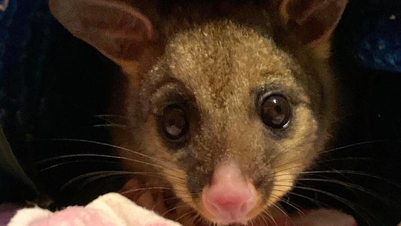 A joey possum orphaned after it's mother was poisoned by rat bait