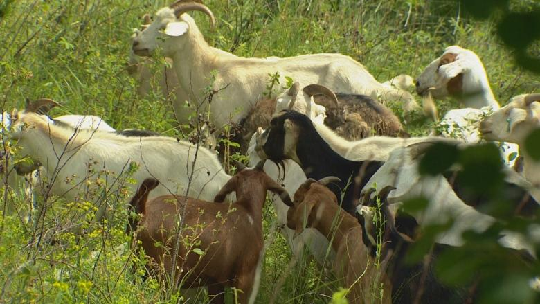 New food safety rules may drive weed-eating goats out of Edmonton, herder says