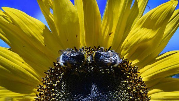 PHOTO: Two bumblebees collect pollen from a sunflower in a garden outside Moscow on Aug. 16, 2016. (Yuri Kadobnov/AFP/Getty Images)