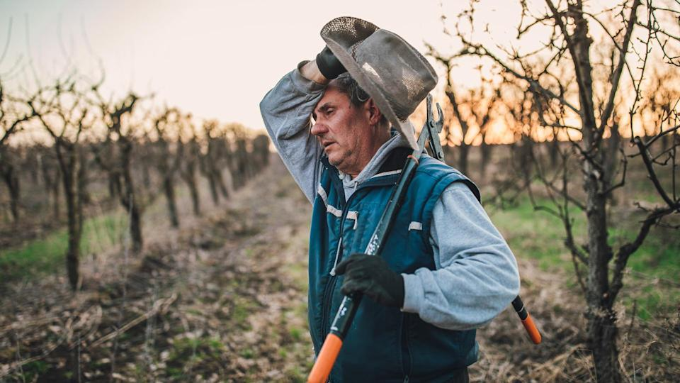 One man, senior man ready for pruning fruit trees in his orchard in winter, holding pruning shears, he looks tired.