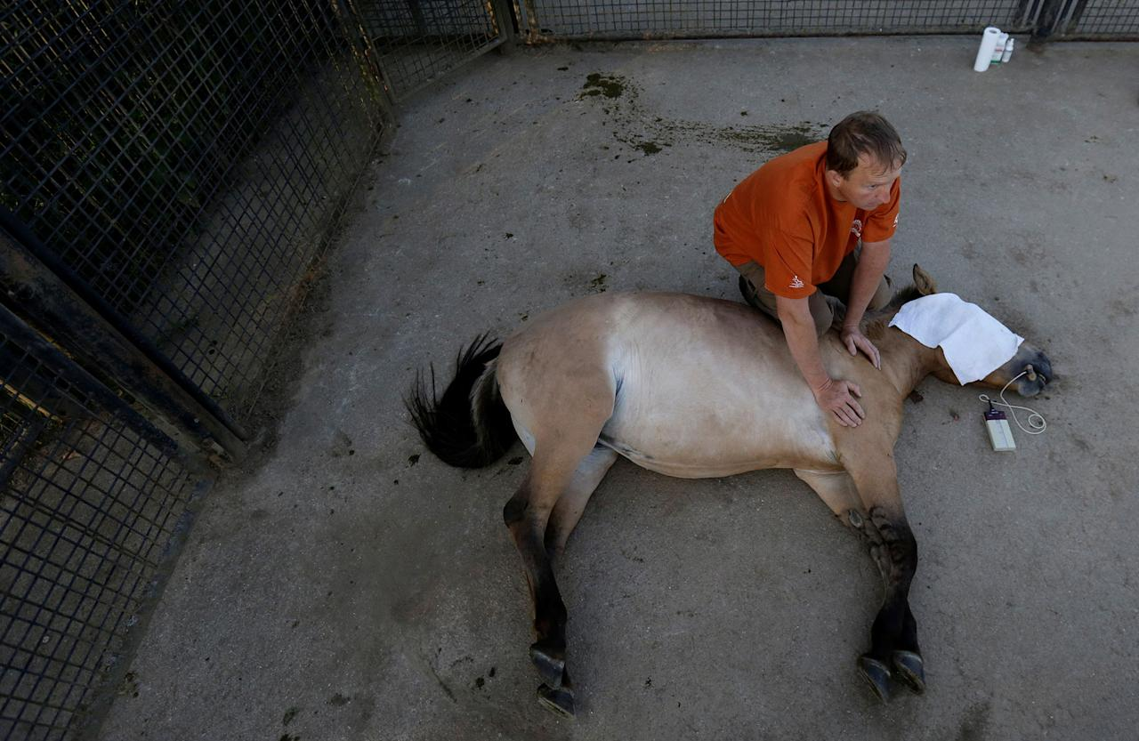 <p>A veterinary doctor holds a tranquilized Przewalski's horse at the acclimatization enclosure in the village of Dolni Dobrejov near the city of Tabor, Czech Republic, June 18, 2017. (Photo: David W. Cerny/Reuters) </p>
