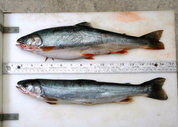 A Dolly Varden caught during salmon spawning season (top) weighs twice that of a Dolly Varden of the same length caught during the lean months.