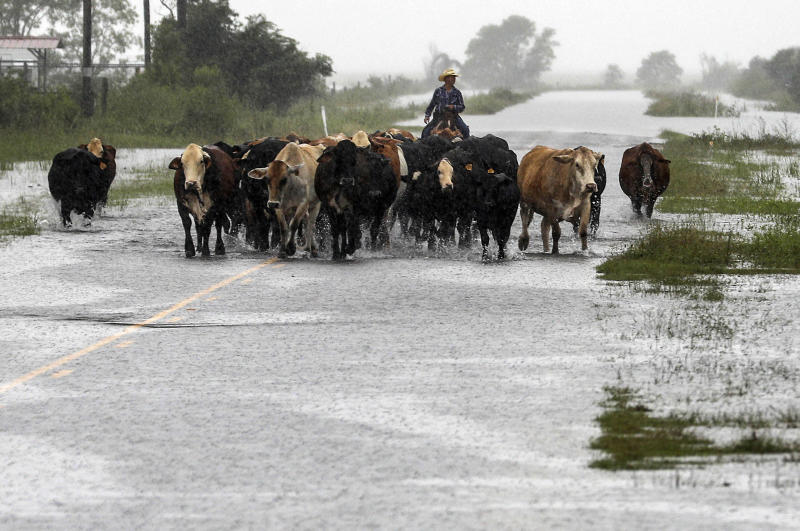 Jim Dunagan moves his cattle to higher ground as remnants of Tropical Depression Imelda flood parts of Southeast Texas, Sept. 19, 2019, near Nome, Texas. (Photo: Jon Shapley/Houston Chronicle via AP)