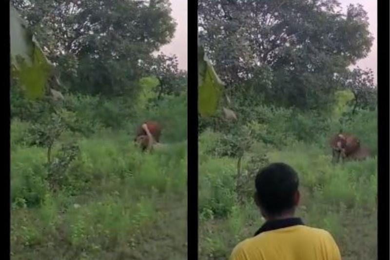 Watch: Cow Offered as Bait to a Lion for an Illegal Show in Gujarat's Gir Alarms Officials
