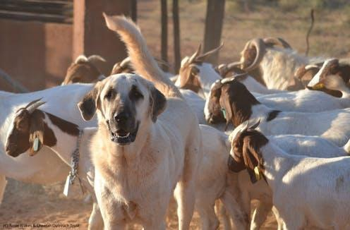 """<span class=""""caption"""">An Anatolian Shepherd Dog protecting goats in South Africa.</span> <span class=""""attribution""""><span class=""""source"""">Rosie Wilkes/Cheetah Outreach Trust</span>, <span class=""""license"""">Author provided</span></span>"""