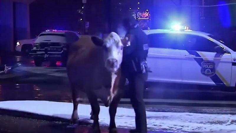 Cow corralled on I-95 escapes nativity scene - once more