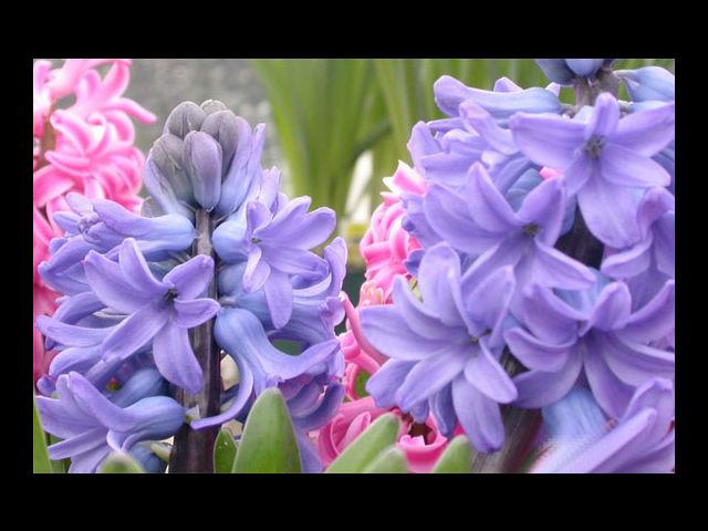 <b>Hyacinth means sincerity</b><br> She wants that, and you can gift her the same in the most perfect manner ever.