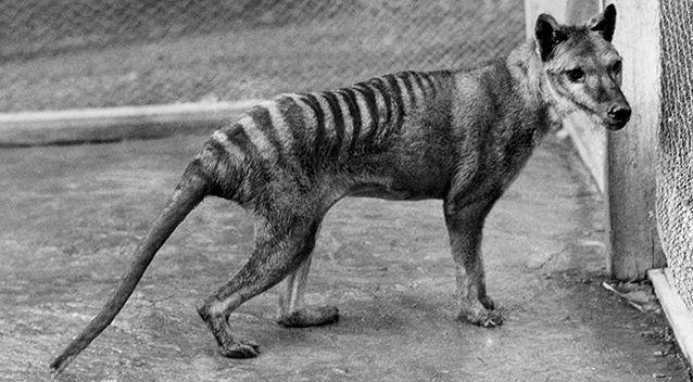 The Tasmanian tiger is extinct but many have claimed to have spotted one here and there over the years. Photo: Kathryn Medlock