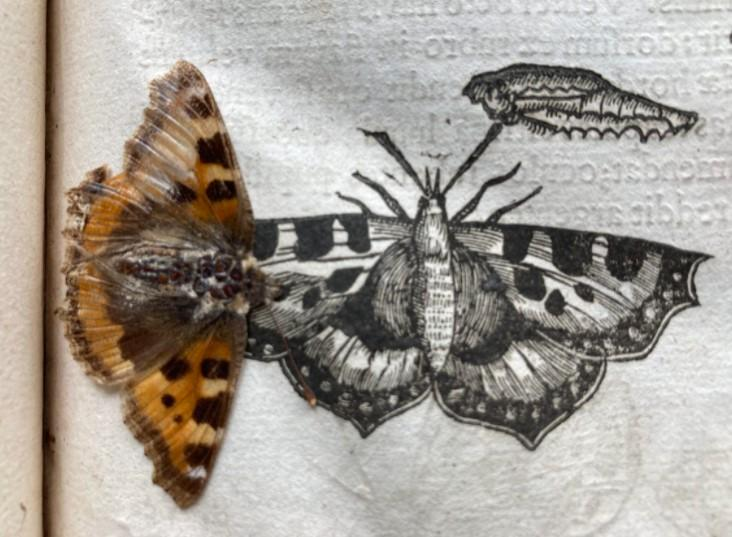 The butterfly was found preserved inside a Cambridge University library book. (Trinity Hall)