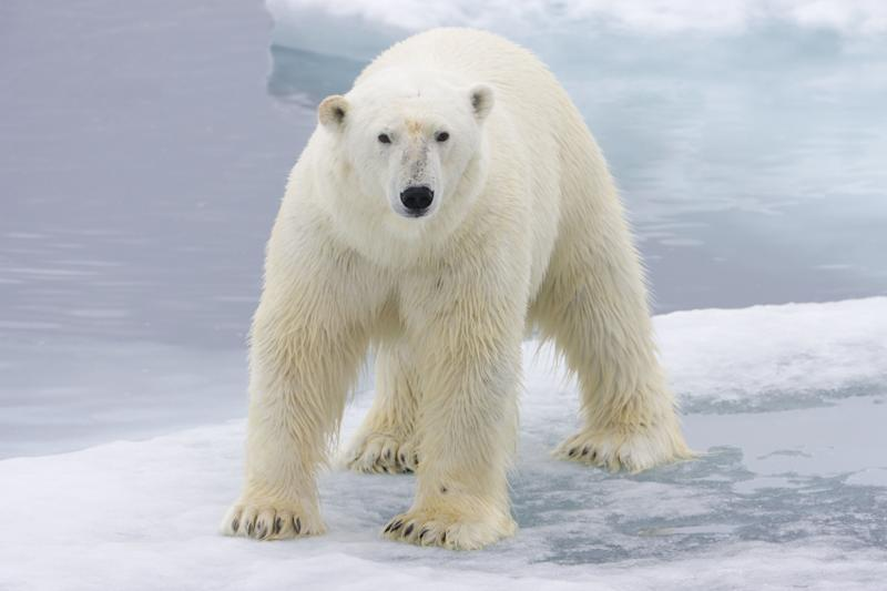 Polar bear on floating ice