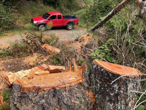 Dozens of Douglas fir trees have been found cut down in numerous sites in the forest reserve.