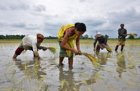 Women plant rice saplings at a paddy field in a village in Nagaon district