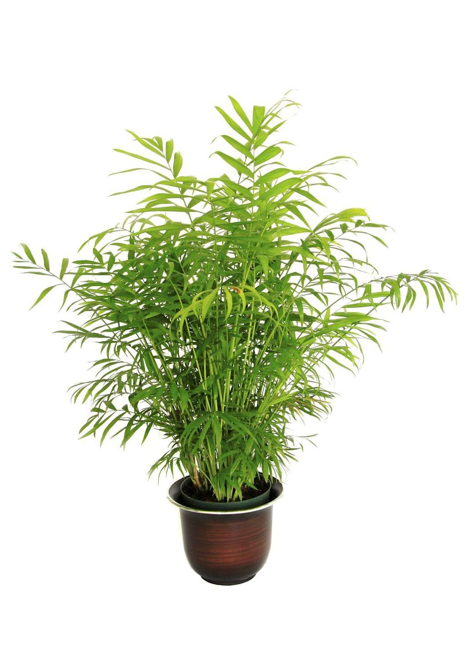 """<p>The bamboo palm doesn't need a lot of light, so this is a great choice for apartment dwellers or for adding a breath of fresh air to your office. Bonus: They're safe for pets.</p><p><a class=""""link rapid-noclick-resp"""" href=""""https://www.amazon.com/Costa-Farms-rivularis-Gray-Taupe-Decorator/dp/B07BC5RTD4/?tag=syn-yahoo-20&ascsubtag=%5Bartid%7C2141.g.28325586%5Bsrc%7Cyahoo-us"""" rel=""""nofollow noopener"""" target=""""_blank"""" data-ylk=""""slk:SHOP BAMBOO PALMS"""">SHOP BAMBOO PALMS</a></p>"""