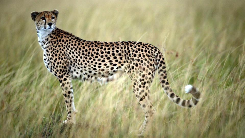 A study has found the world's fastest land animal, the cheetah, is in danger of extinction.