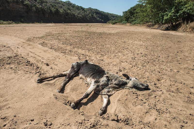 The carcass of a dead cow lies in the Black Umfolozi River, dry from the effects of a severe drought north of Durban, South Africa on November 9, 2015 (AFP Photo/Mujahid Safodien)