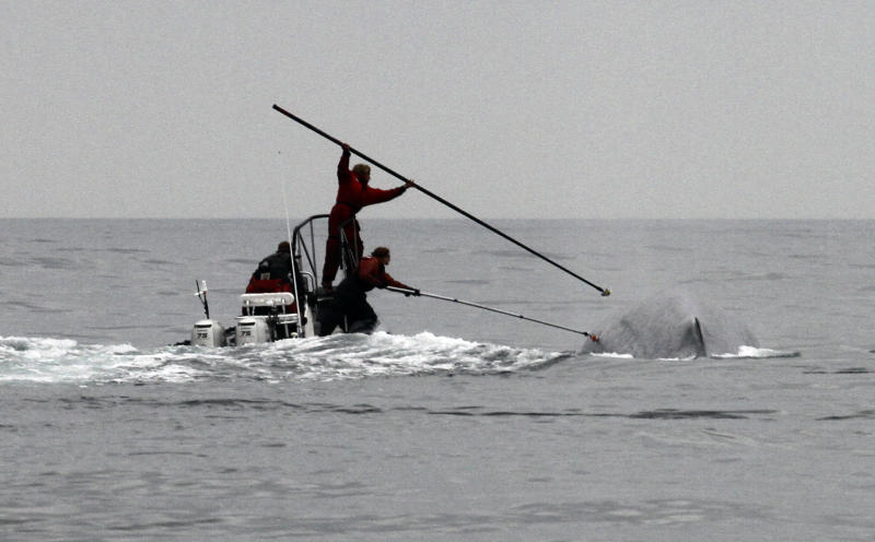 This undated image provided by Cascadia Research shows researchers tagging a blue whale off the coast of Southern California. Two recent studies off Southern California found certain endangered blue whales and beaked whales stopped feeding and fled from recordings of noise similar to military sonar. (AP Photo/Cascadia Research, John Calambokidis)