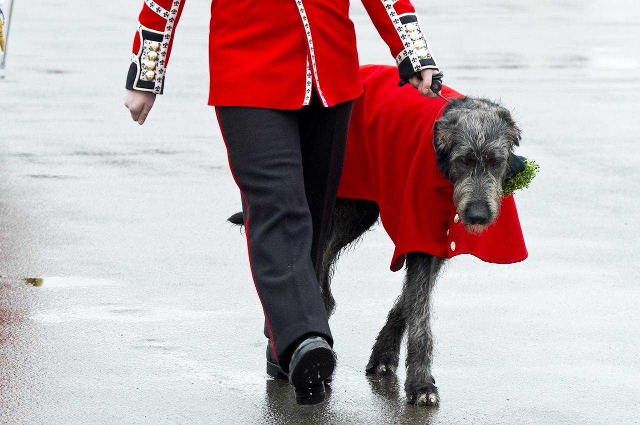 ALDERSHOT, ENGLAND - MARCH 17:  Irish wolf hound Domhnalll marches during The Irish Guards' St Patrick's Day Parade at Mons Barrackson March 17, 2013 in Aldershot, England.  (Photo by Ben Pruchnie/Getty Images)