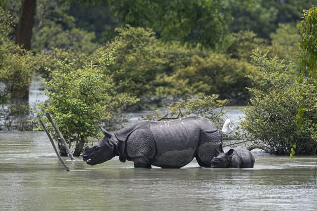 A horned rhinoceros and calf wade through floodwater at the Pobitora wildlife sanctuary in Assam, India (Anupam Nath/AP)