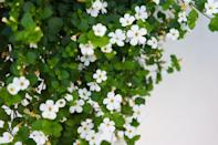 """<p>This trailing annual has tiny, round flowers that seem to thrive on neglect. Combine them in a mixed planter with more upright flowers for most impact. Bacopa bloom all the way until frost and like mostly sun.</p><p><a class=""""link rapid-noclick-resp"""" href=""""https://www.provenwinners.com/plants/sutera/snowstorm-snow-globe-bacopa-sutera-cordata"""" rel=""""nofollow noopener"""" target=""""_blank"""" data-ylk=""""slk:SHOP BACOPA"""">SHOP BACOPA</a></p>"""