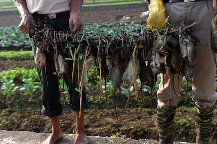 """Tran Quang Thieu (R), nicknamed """"Rat King"""", and farmer Nguyen Huu Binh collect trapped rats in a field on the outskirts of Hanoi, on November 20, 2014 (AFP Photo/Hoang Dinh Nam)"""