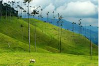 "<p>West of Bogotá, the verdant hills of <a href=""https://www.tripadvisor.com/Attraction_Review-g1580963-d1674150-Reviews-Bosques_de_Cocora-Salento_Quindio_Department.html"" rel=""nofollow noopener"" target=""_blank"" data-ylk=""slk:Cocora Valley"" class=""link rapid-noclick-resp"">Cocora Valley</a> are known for their towering palm trees.</p>"