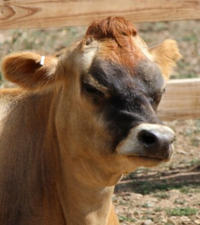 """<div class=""""caption-credit""""> Photo by: (Photo by Johi Kokjohn-Wagner)</div><div class=""""caption-title"""">Judgmental Cow</div>""""Why do people keep asking me if I work at the DMV?"""" """"What is going on with your hair?"""" """"I've never seen such unruly children."""" This cow is judging Goose. She is also judging you. And she just called number 67 at the DMV."""
