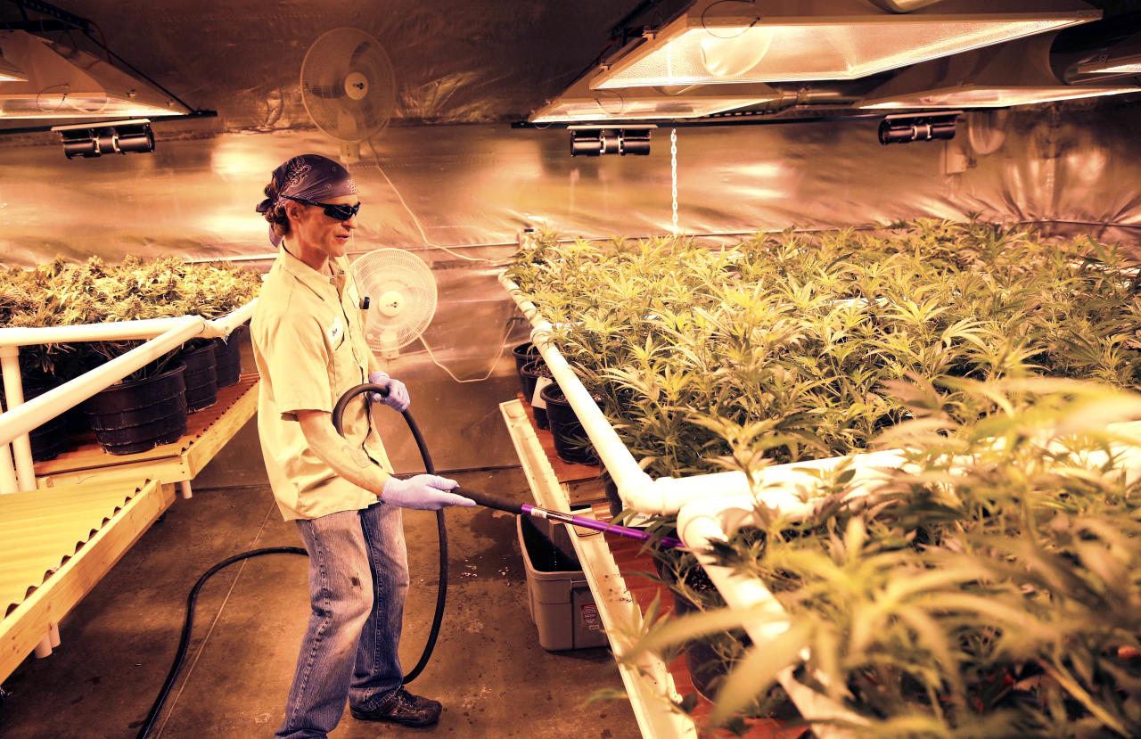 """In this Dec. 27, 2013 photo, an employee waters pot plants inside a grow house, later to be harvested, packaged and sold at Medicine Man marijuana dispensary, which is to open as a recreational retail outlet at the start of 2014, in Denver. Colorado is making final preparations for marijuana sales to begin Jan. 1, a day some are calling """"Green Wednesday."""" (AP Photo/Brennan Linsley)"""