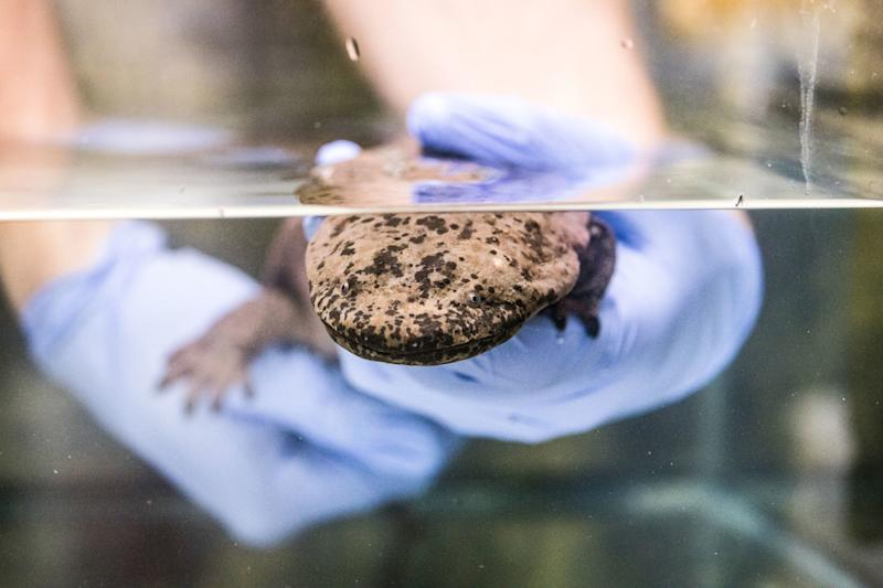 The idea the salamander was a distinct species was first proposed in the 1920s (PA)