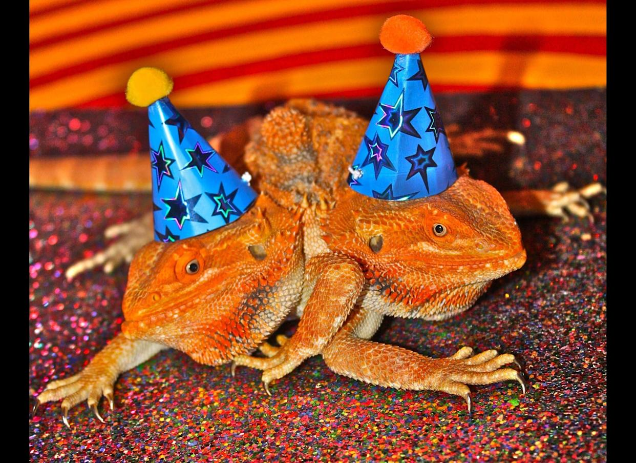 Todd Ray, who is recognized by Guinness World Records as having the largest collection of two-headed animals, is celebrating the second birthday of Pancho and Lefty, a two-headed, six-legged bearded dragon on July 7 in Venice Beach, Calf.