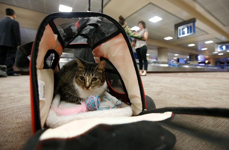 Oscar the cat, who is not a service animal, sits in his carry-on travel bag after arriving at Phoenix Sky Harbor International Airport in Phoenix. (Photo: ASSOCIATED PRESS)