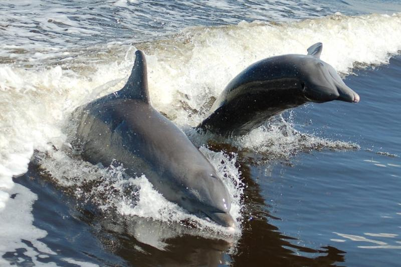 See dolphins up close on a cruise with The Dolphin Explorer.