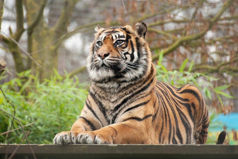 Surgeon Dr David Williams, from the Queen's Veterinary School Hospital at the University of Cambridge, carried out the world-first corneal surgery on the 93-kilo Sumatran tiger. (SWNS)