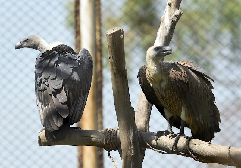 Fatima Arif of WWF-Pakistan concedes that for most people, vultures evoke negative emotions, but is hopeful the charity can help them improve their image (AFP Photo/ARIF ALI)