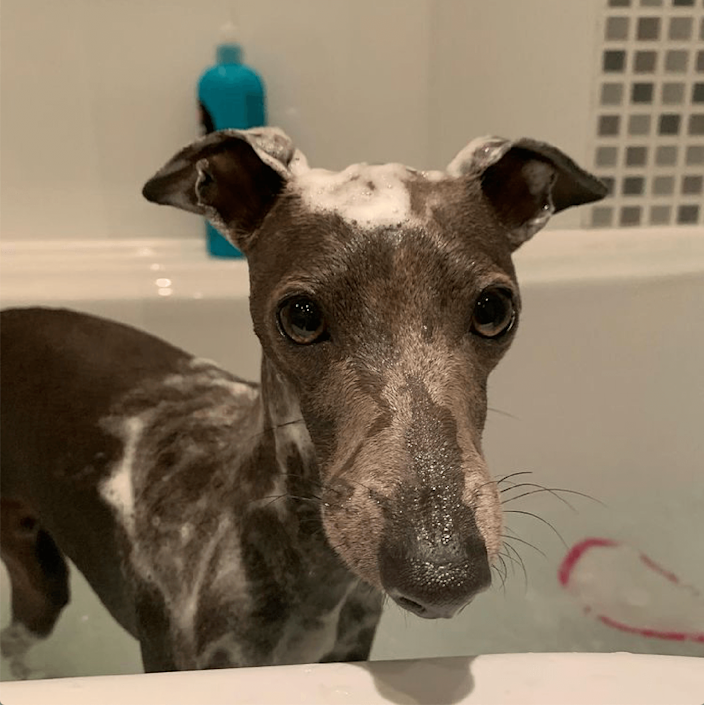 """<p>Pacho is looking very pleased with bath day. </p><p>""""Always use a shampoo made specifically for dogs and never human shampoo because natural ph. levels are different and can cause skin problems as a result if the wrong product is used,"""" adds Matt. </p>"""
