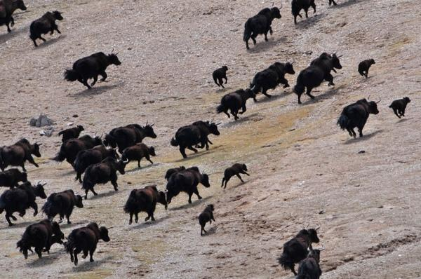 Huge Wild Yak Population Found in Tibetan Park