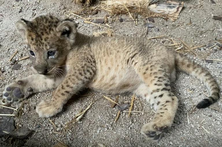 It is rare for lions to be conceived through artificial insemination