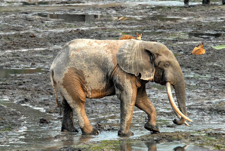 Elephants were the first species to be protected by the Ivory Act 2018 (Andrea K. Turkalo/PA) (PA Media)