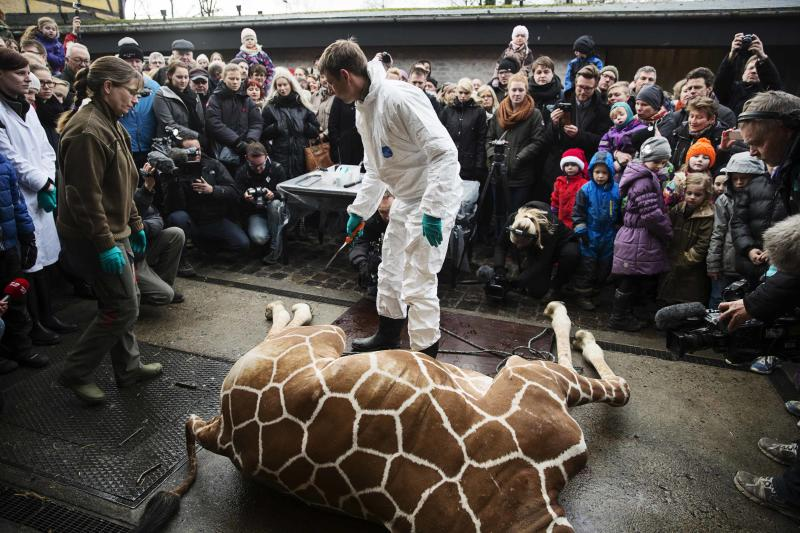 People look on as a veterinarian prepares to dismember the giraffe Marius after it was killed in Copenhagen Zoo