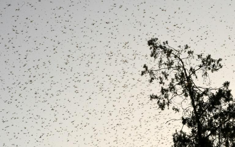 South Asia is experiencing its worst infestation in decades, with the plague of locusts devastating agricultural heartlands