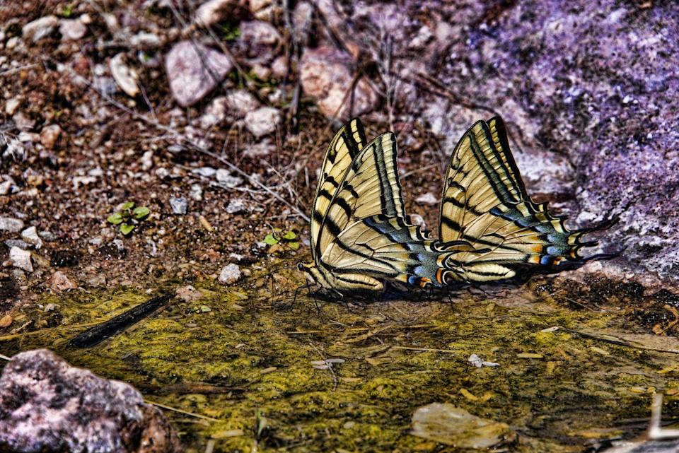 <p><strong>Two-tailed Swallowtail Butterfly</strong></p><p>These bright yellow beauties can have a wingspan of 3.5 to 5.5 inches.</p>