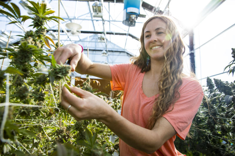 A woman trimming a marijuana plant ready for harvest. (GETTY)