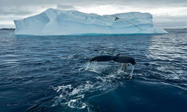 PHOTO: A humpback whale shows its fluke before a deep dive underneath one of Antarctica's icebergs.  (Hayes Baxley/National Geographic for Disney+)