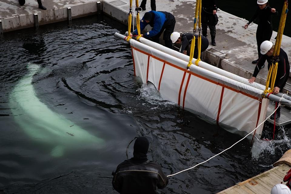 This is the first time Little Grey and Little White have been in the sea since they were taken from a Russian whale research centre in 2011. They will now be assessed around the clock as they get used to being back in the ocean environment. (PA)
