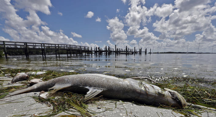 FILE- In this Aug. 6, 2018, file photo, a dead Snook lies dead due to red tide in Bradenton Beach, Fla. Florida is creating a public-private partnership to research how to control and alleviate red tide blooms. Republican Gov. Ron DeSantis signed a bill Thursday, June 20, 2019, that establishes a partnership between the Florida Fish and Wildlife Conservation Commission and Mote Marine Laboratory to research the blooms that have killed wildlife, caused respiratory problems and hurt tourism.(AP Photo/Chris O'Meara, File)