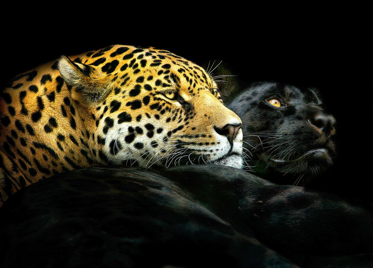 <p>A leopard and a black panther pose together. (Photo: Pedro Jarque Krebs/Caters News) </p>
