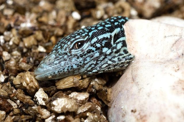 Endangered lizards hatched at Bristol zoo
